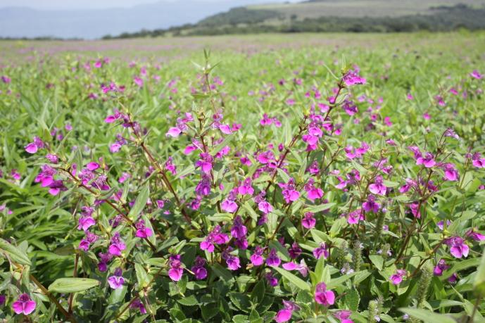 紫色の絨毯が一面に広がる