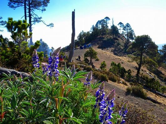 タフムルコ3,700mのキャンプ地、紫色のルピナスは中南米原産の花