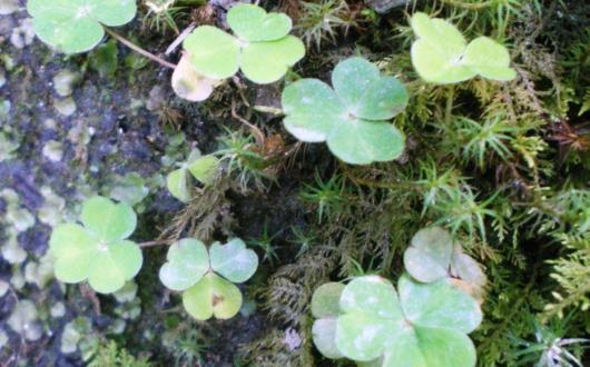 アイルランド国花、シャムロック