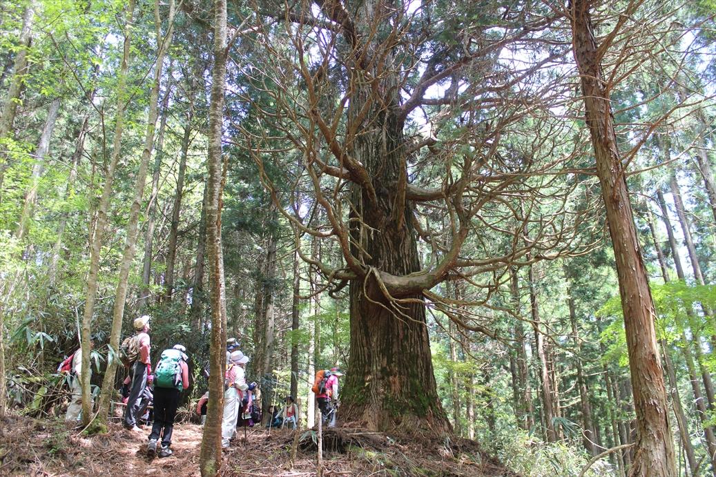 樹齢350年の一本杉