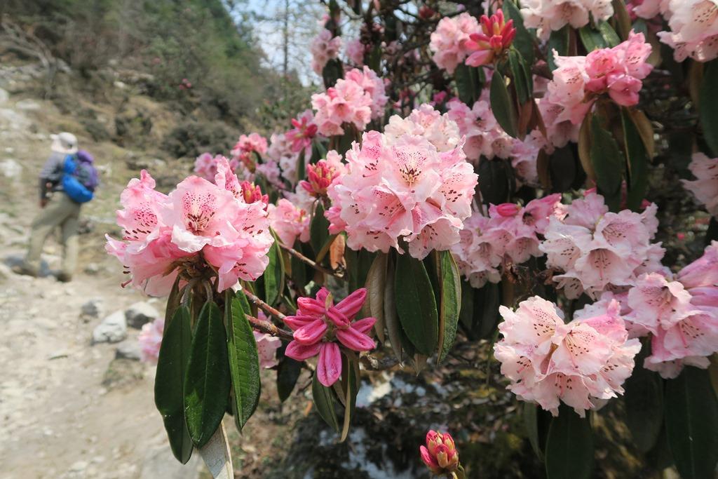 シャクナゲの咲くトレイル(春)