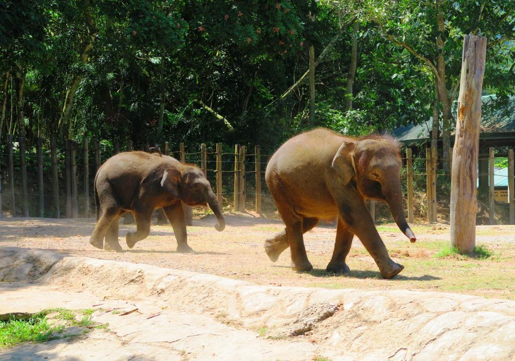 可愛らしいボルネオ象の親子