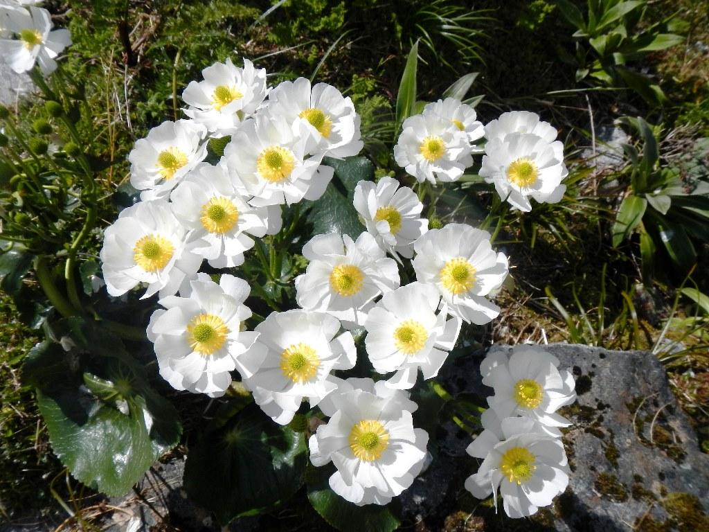 トレイルに咲くマウントクックリリー(11下旬から12月上旬)