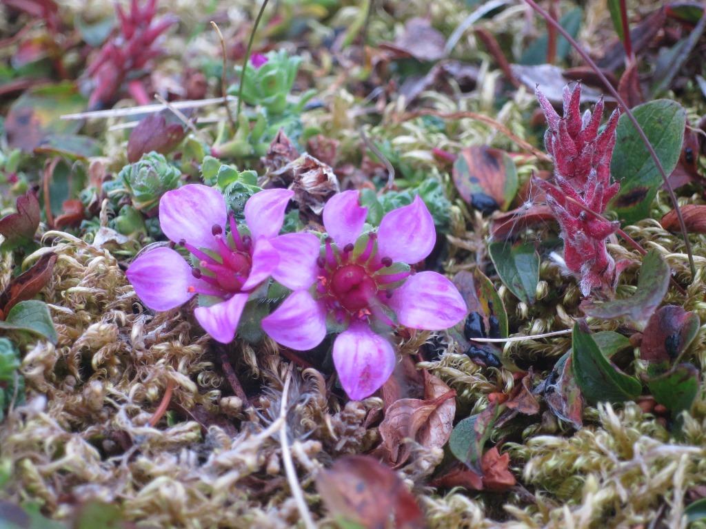 北極圏の大地に咲く可憐な花