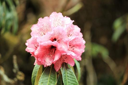 ネパールの国花シャクナゲ(ラリグラス)