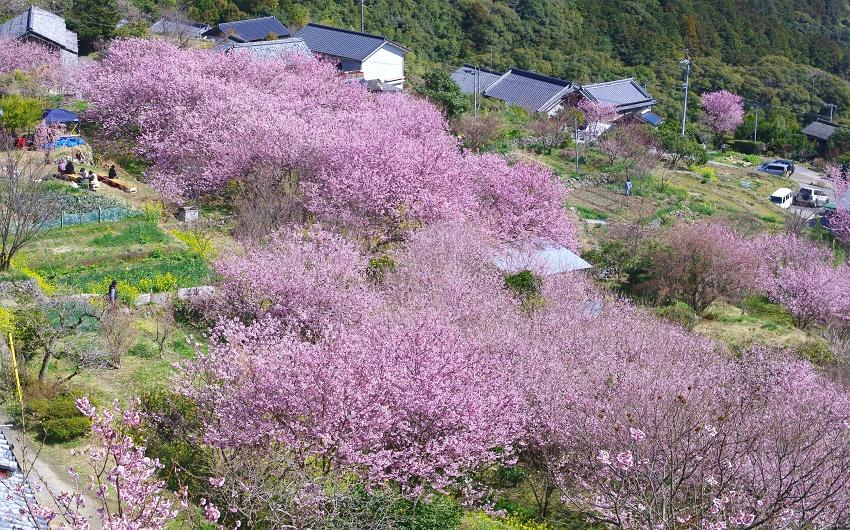約1,000本の雪割桜が育つ桑田山
