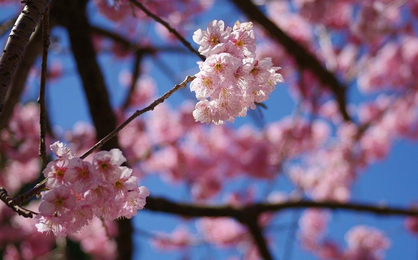 雪割桜(ツバキカンザクラ)