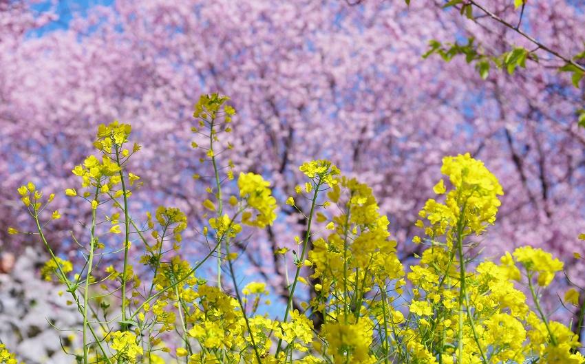 菜の花と桜を眺めながら里山をのんびり散策
