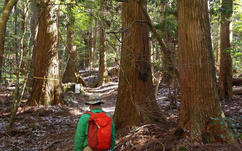 千本山山麓、天然杉の巨木を訪ねる