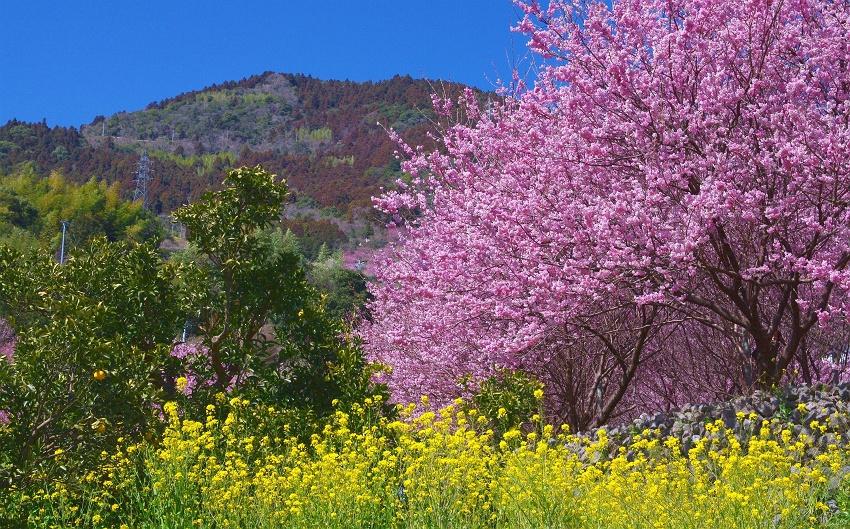 2月中旬~3月上旬ごろに見ごろを迎える雪割桜