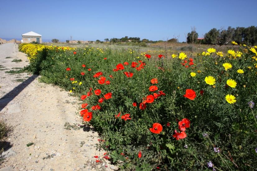 道端に咲く花を愛でながらパフォスを散策