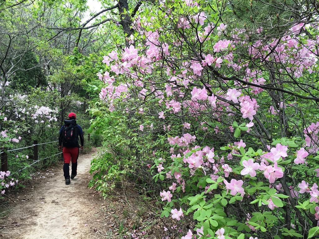 ピンクや白のツツジ咲く登山道