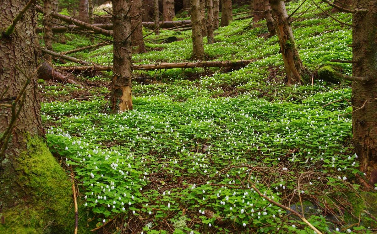 ミヤマカタバミが咲き誇る5月の森