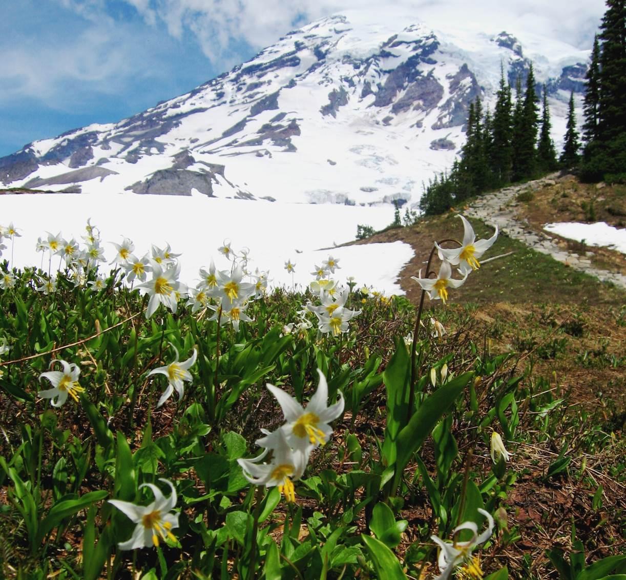 初夏の花咲くマウントレーニア山麓