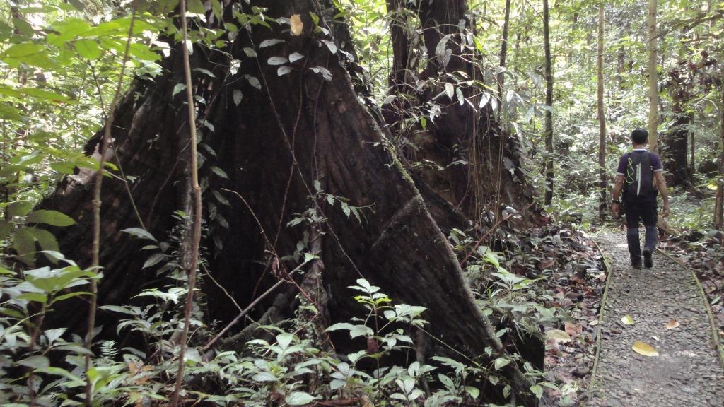 見事に発達した巨木の板根