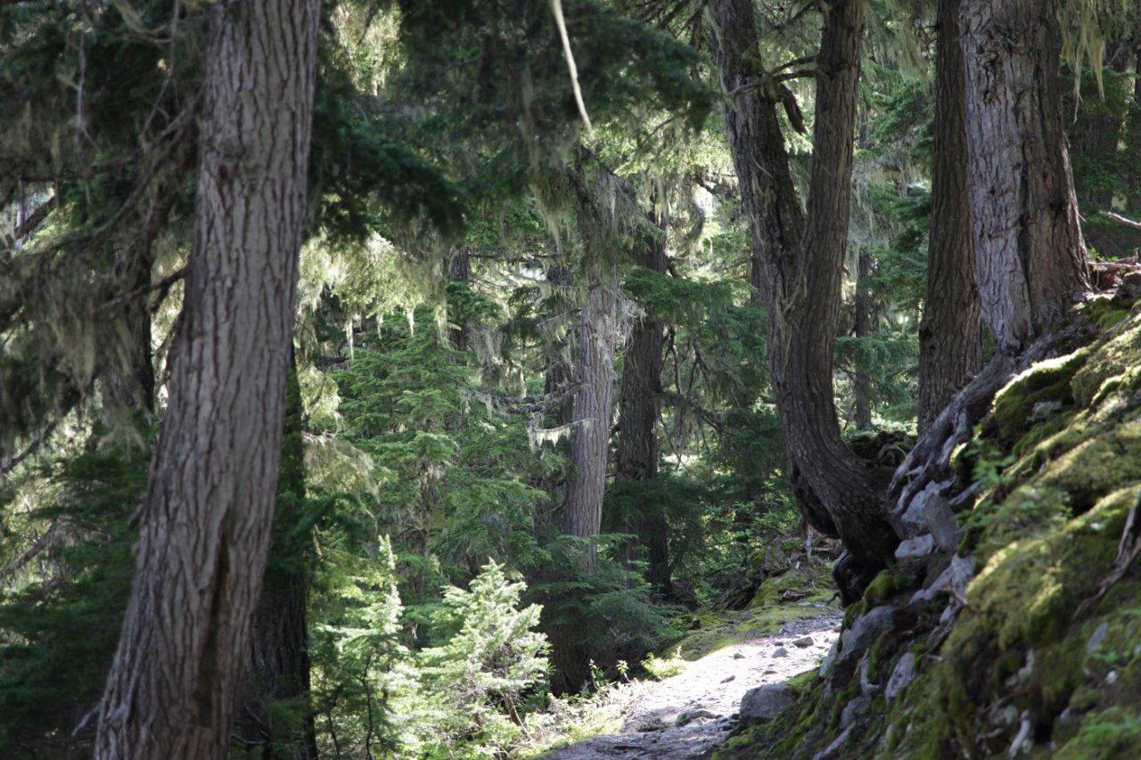グレーシャー国立公園の山麓で見られる苔むした密度の濃い森