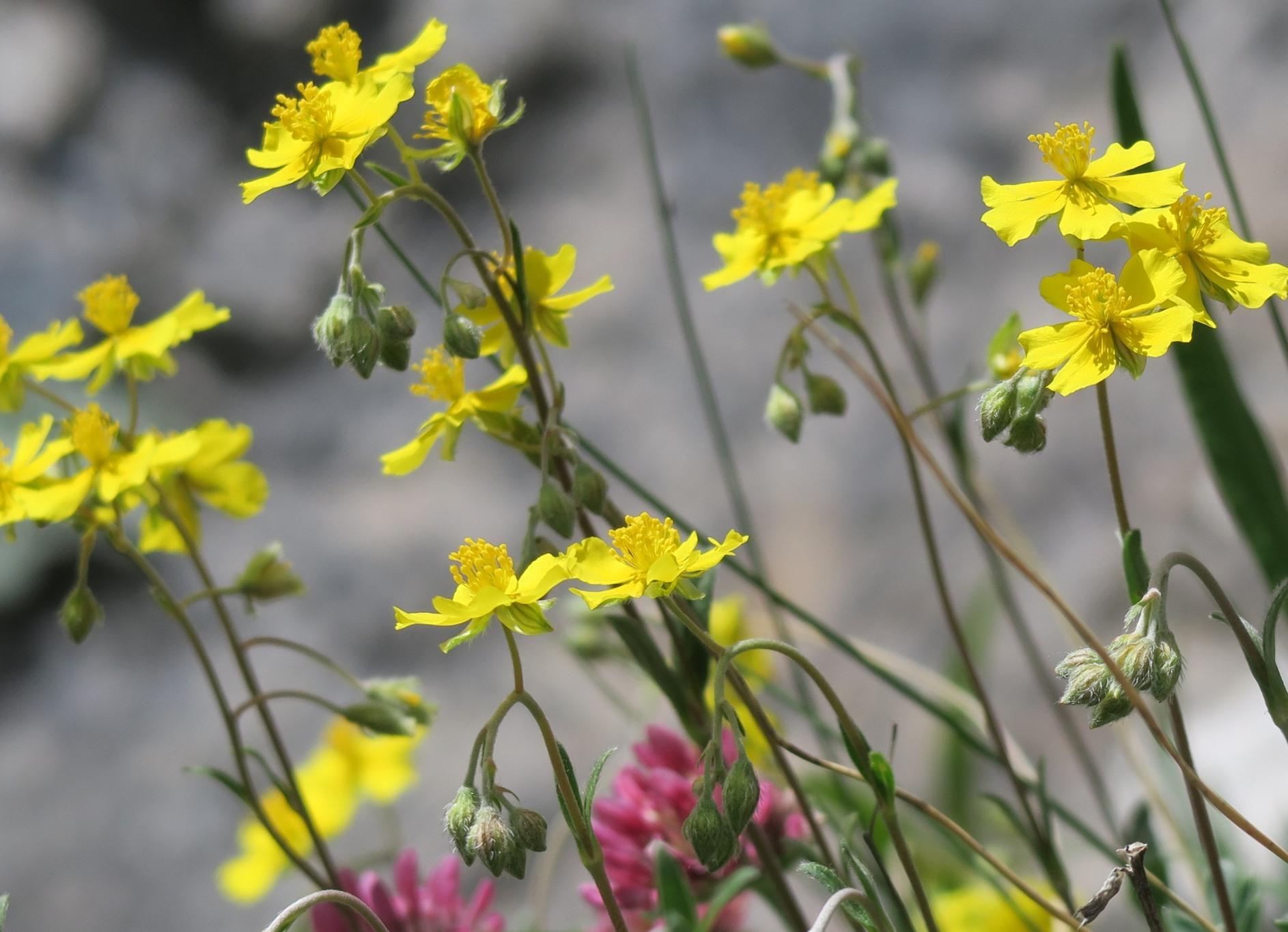 ピレネーに咲く色とりどりの花々