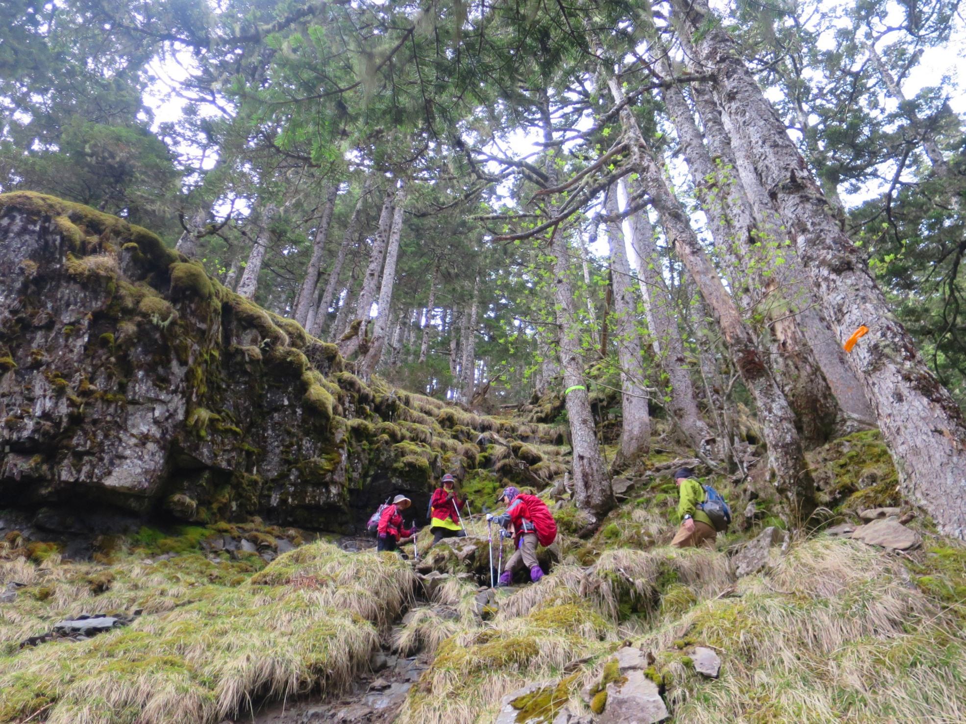 ニイタカトドマツの美しい森の中を登る