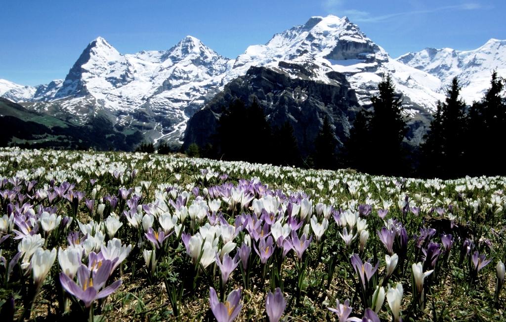春はクロッカスが咲きみだれる(2日目)