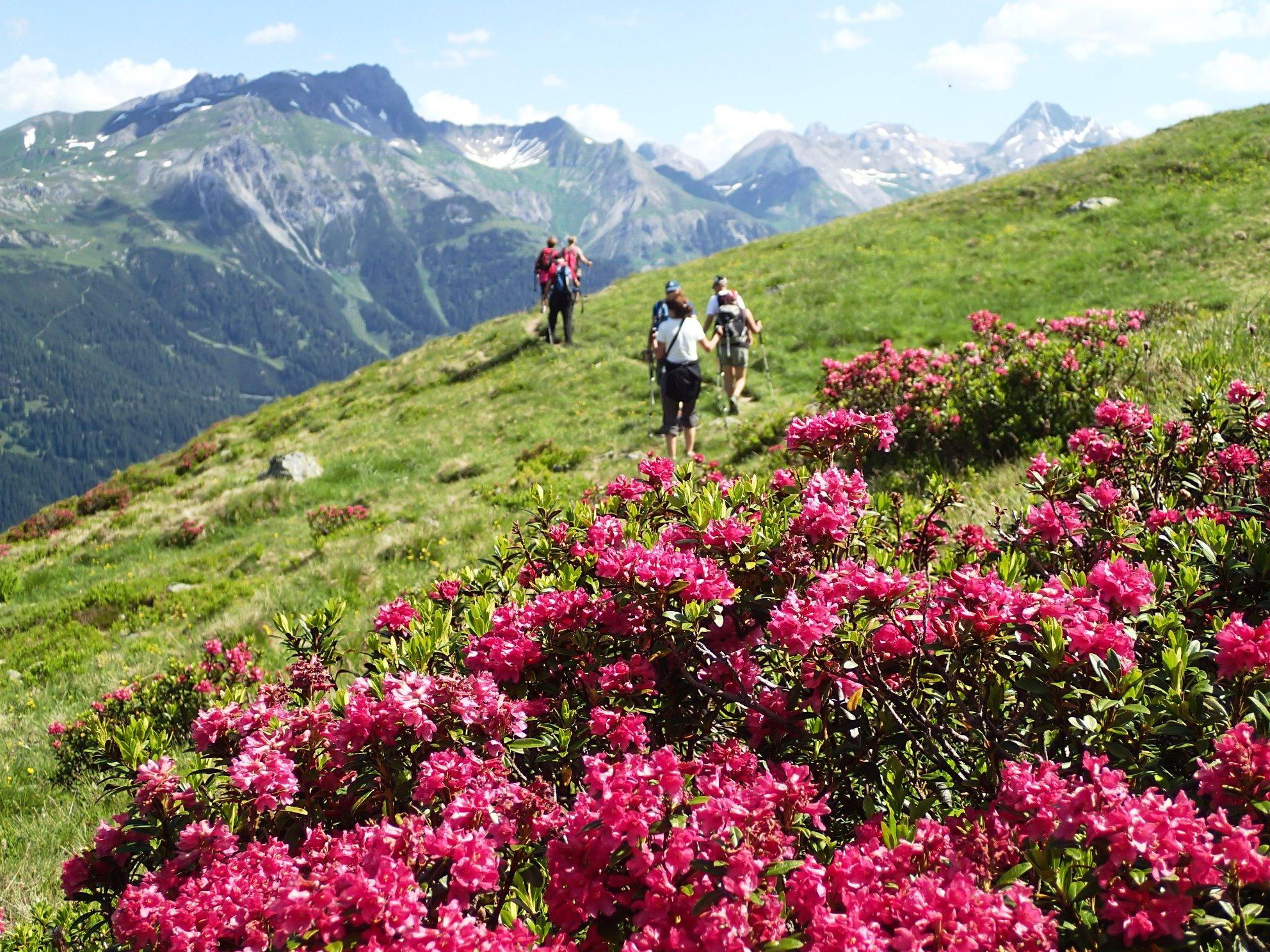 アルペンローゼが咲き誇るトレイルをハイキング(4日目)