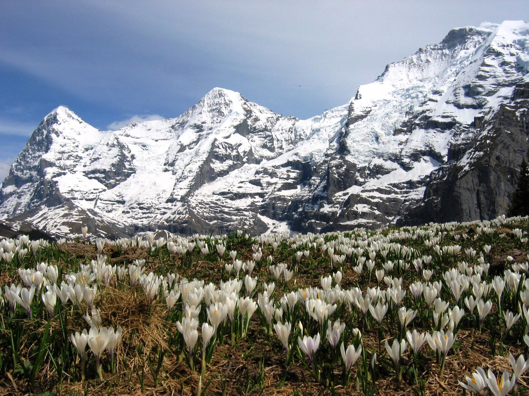 ミューレン付近から見るベルナー・オーバーラント三山と咲き誇るクロッカス(2日目)