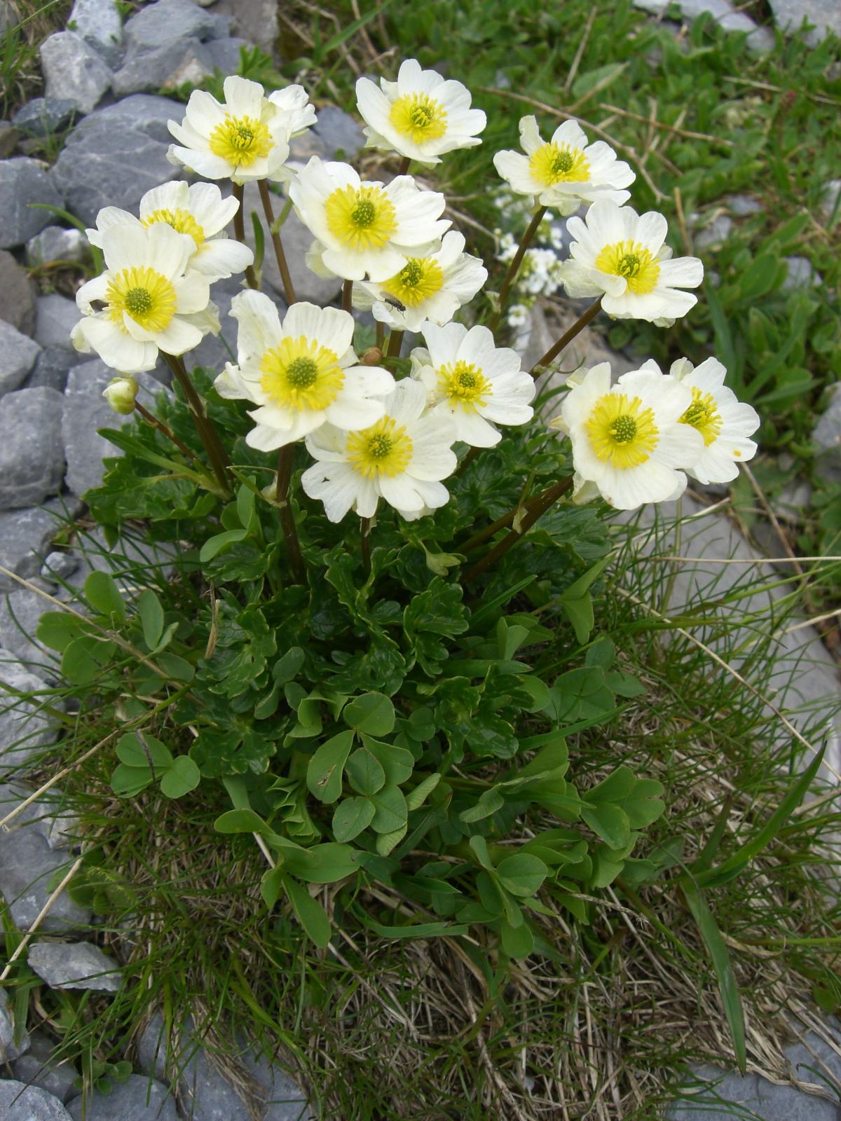 春のアルプスを彩る花々