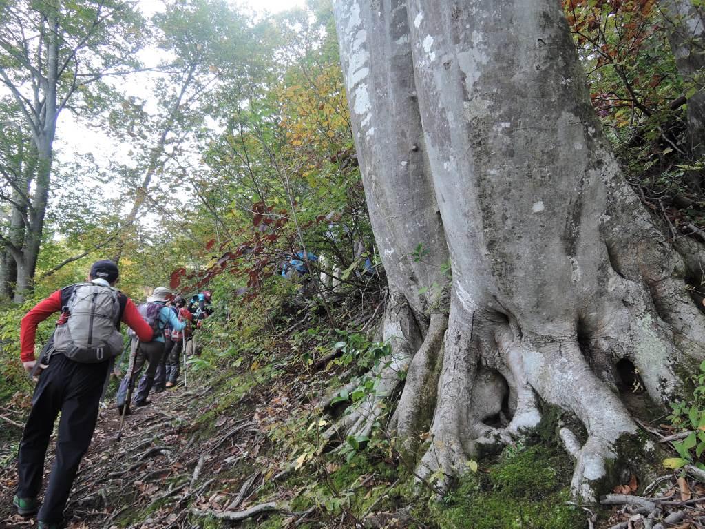 ブナの巨木に出会えることも