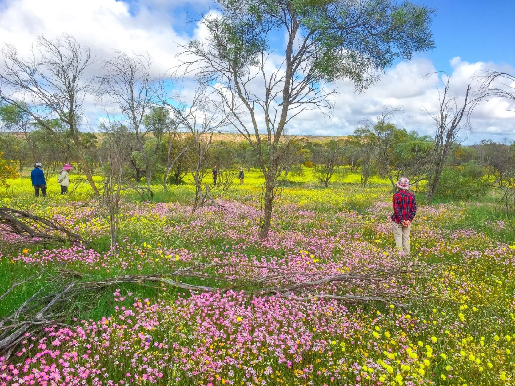 エバーラスティングの群生が美しいコールシーム自然保護区(4日目)