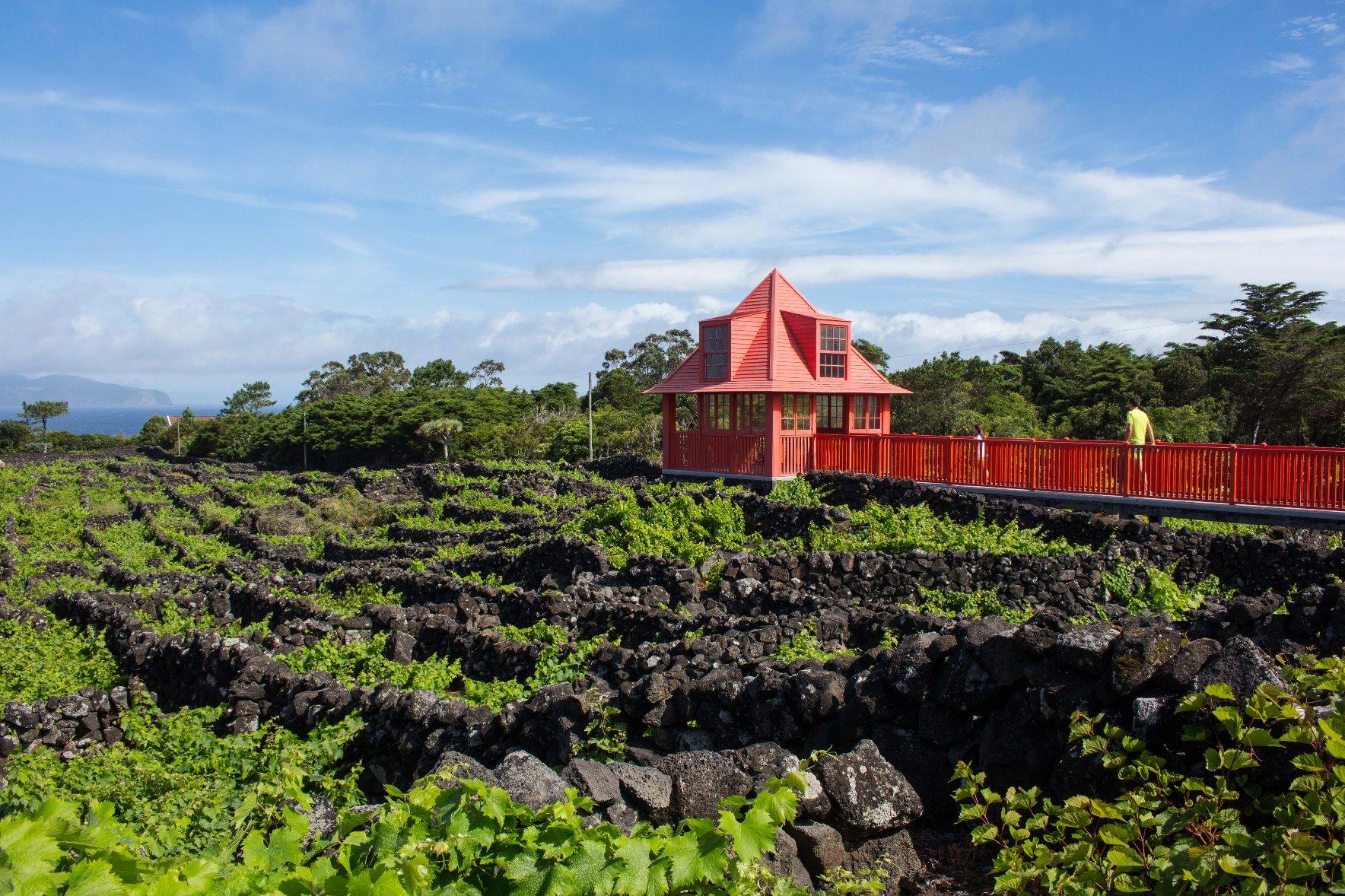 ピコ山麓の溶岩を利用した世界遺産の伝統的なブドウ園の石垣(5日目)