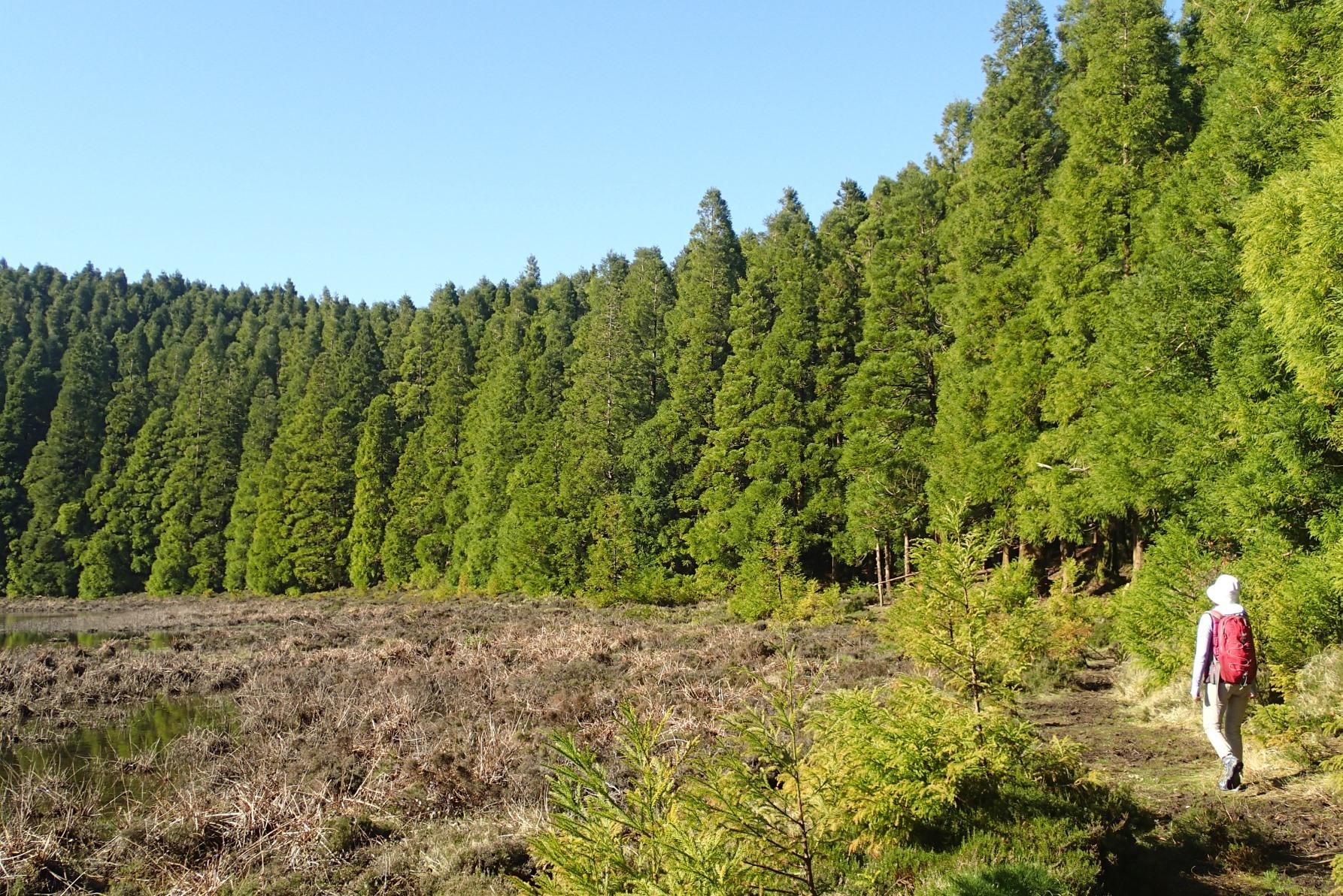 サン・ミゲル島の杉林