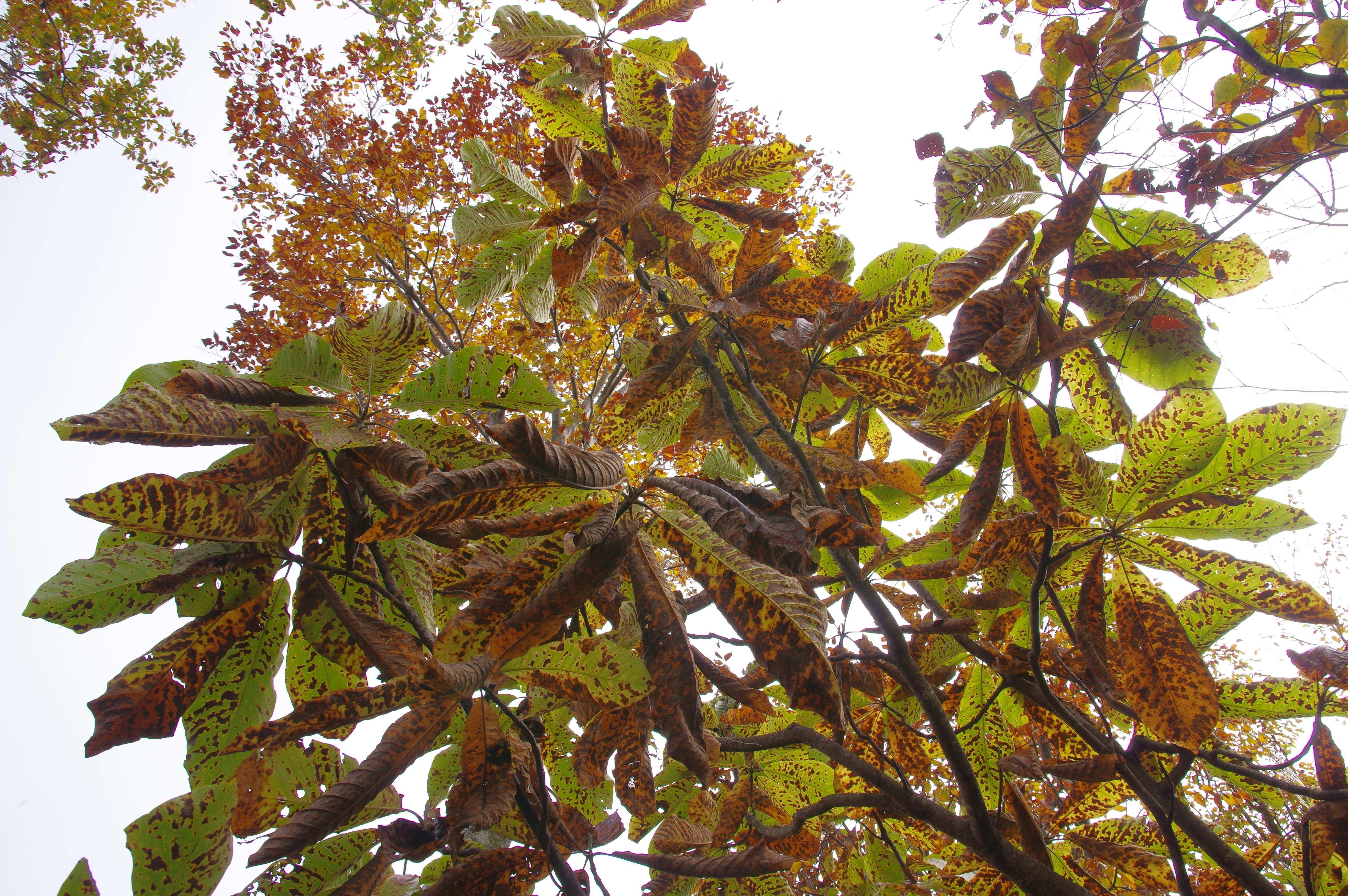紅葉したホウの葉