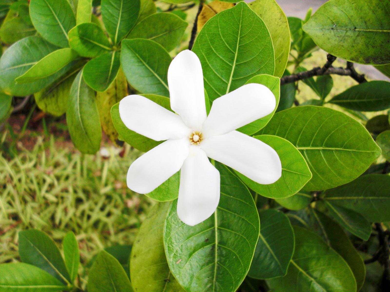 タヒチの国花ティアレタヒチ