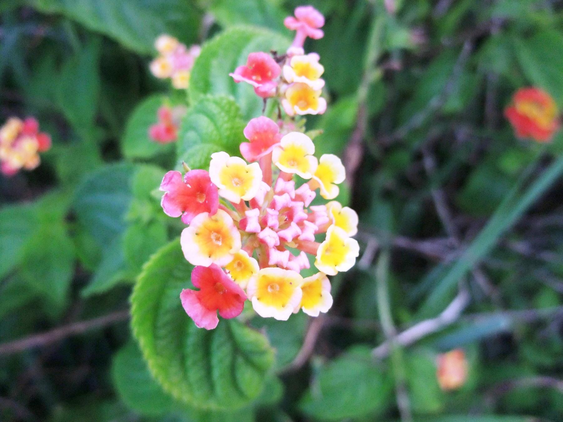 色が七変化するランタナの花(イースター島)