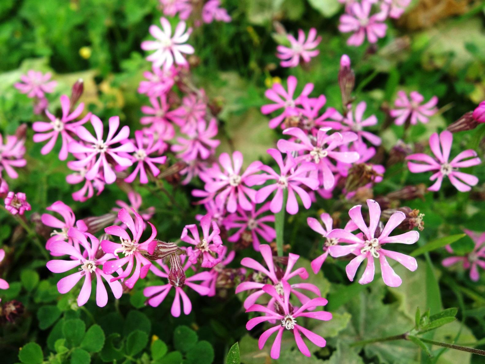 シレネ・コロラタの花