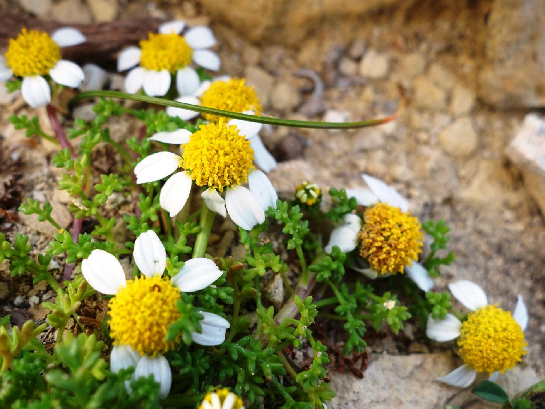 マルタ・シー・カモミール、マルタの固有種