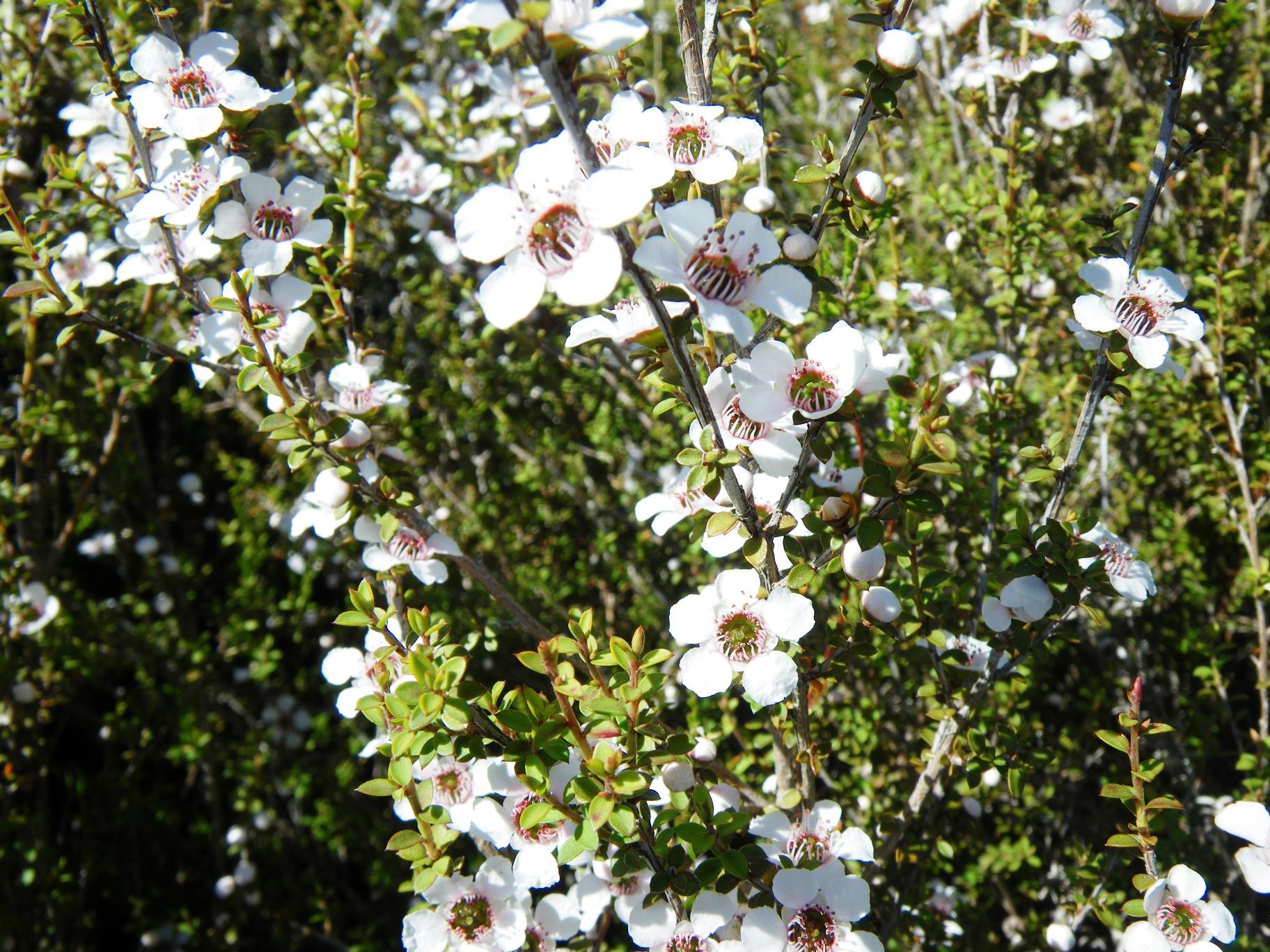 トンガリロ国立公園で見つけたマヌカの花