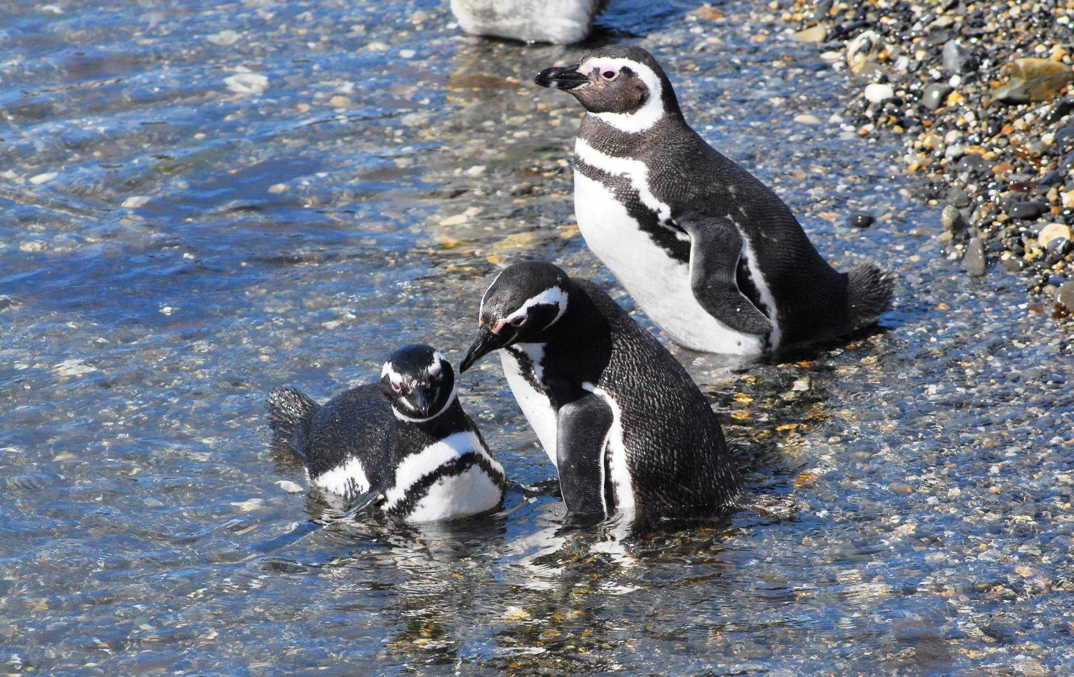 ビーグル水道クルーズでのマゼランペンギン
