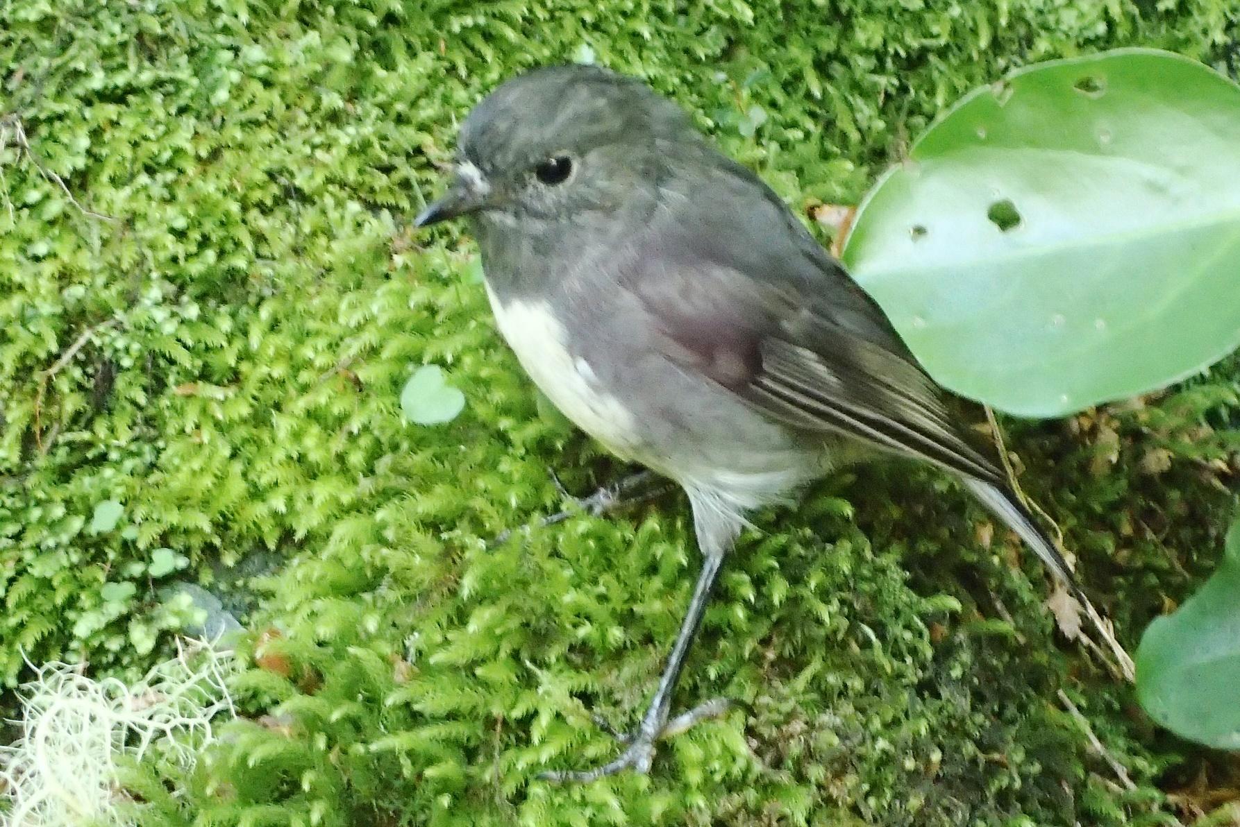 可愛らしい野鳥ブッシュ・ロビンに出逢うことも