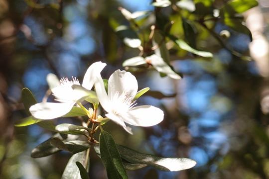 レザーウッドの花(2月)