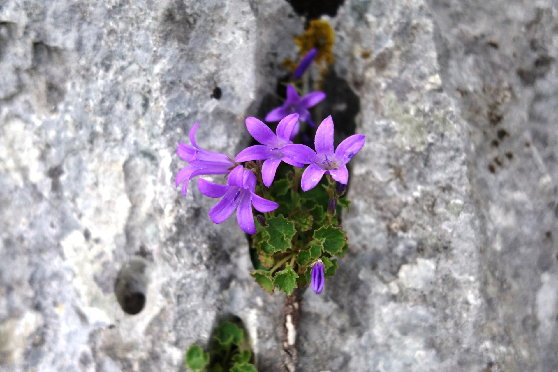 カルスト台地に咲く可憐な花
