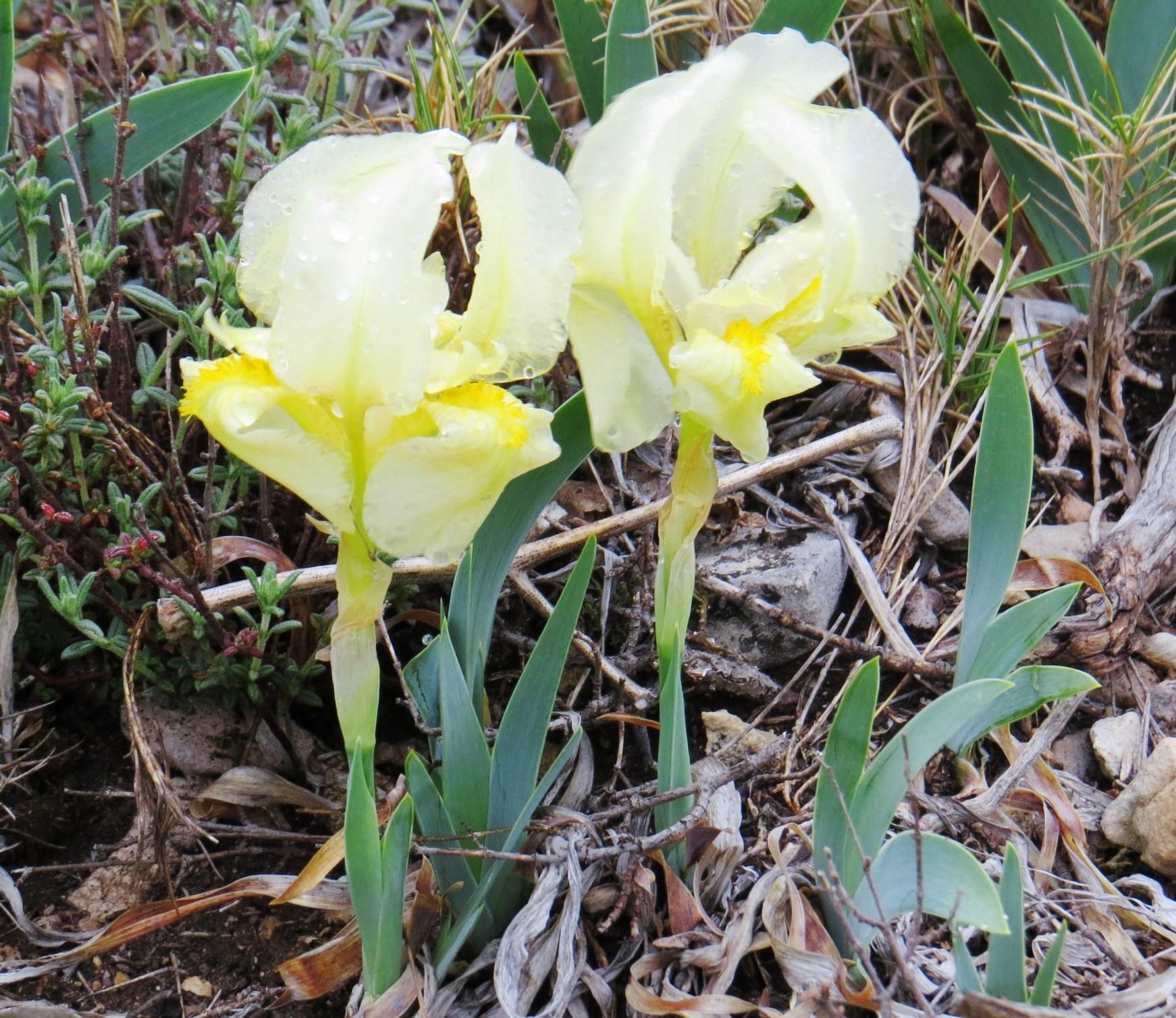 春の南フランスで見られる可憐な花々