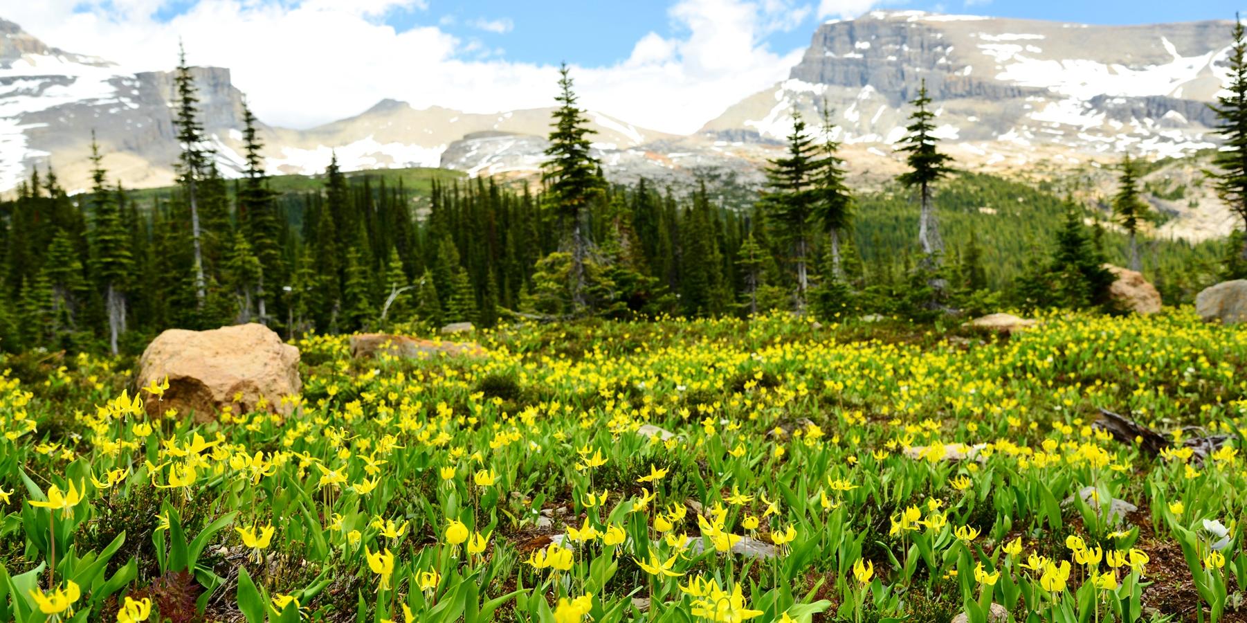 7月上旬は黄色カタクリの群落が楽しめることも(開花時期は年により異なります)