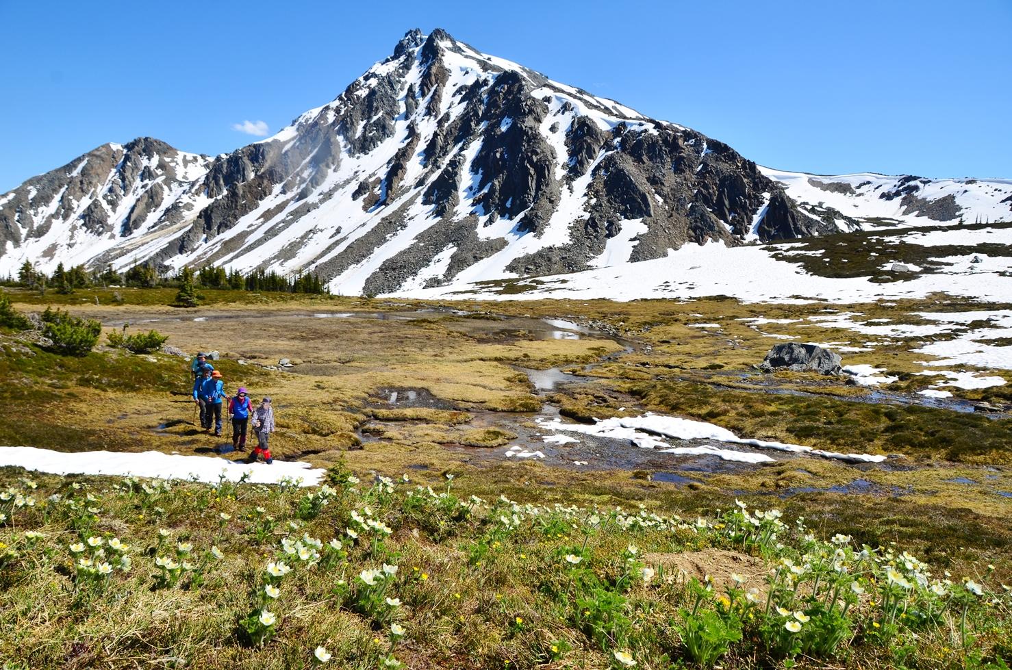 雪解けとともに咲き出す高山植物の群落