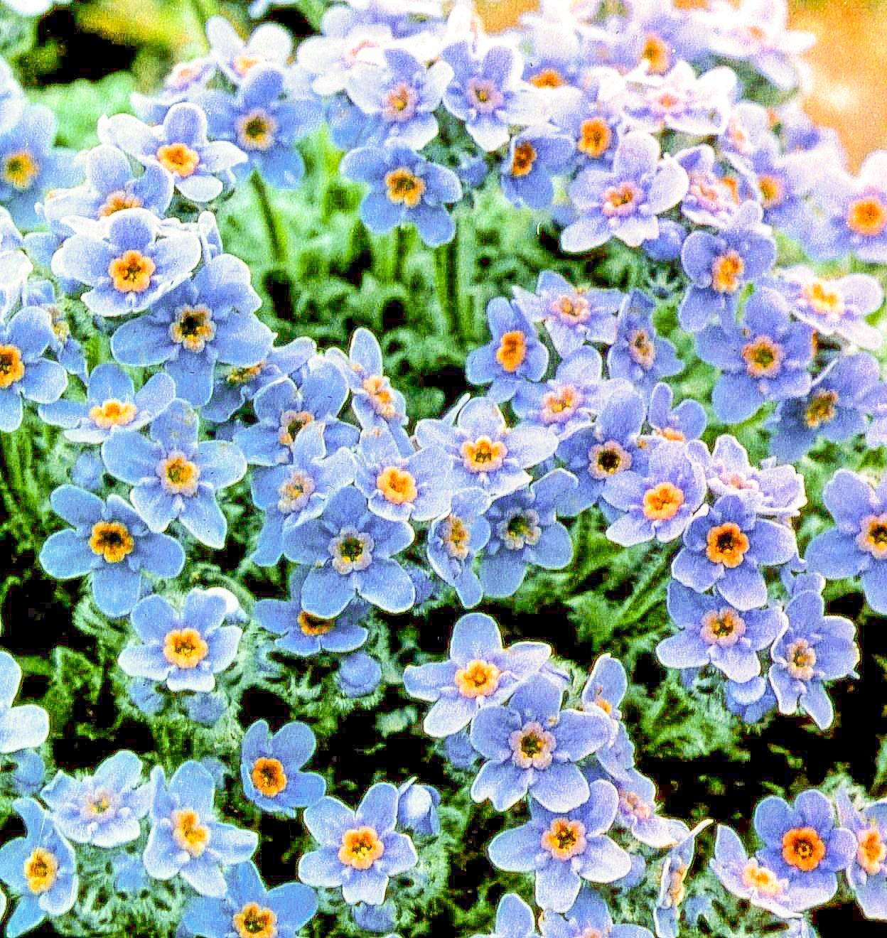 アラスカ州の州花ワスレナグサ