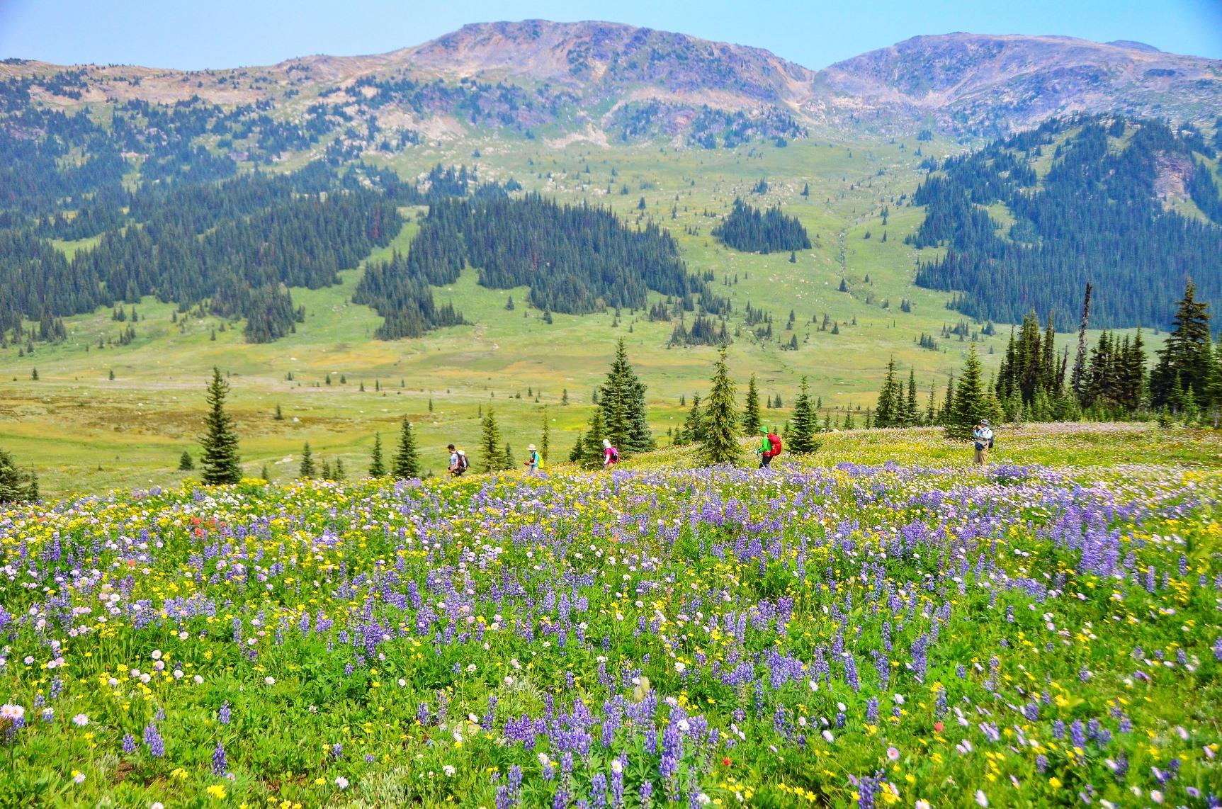 花の宝庫ウエルズグレイ州立公園は、足の踏み場がないほど高山植物でいっぱいに