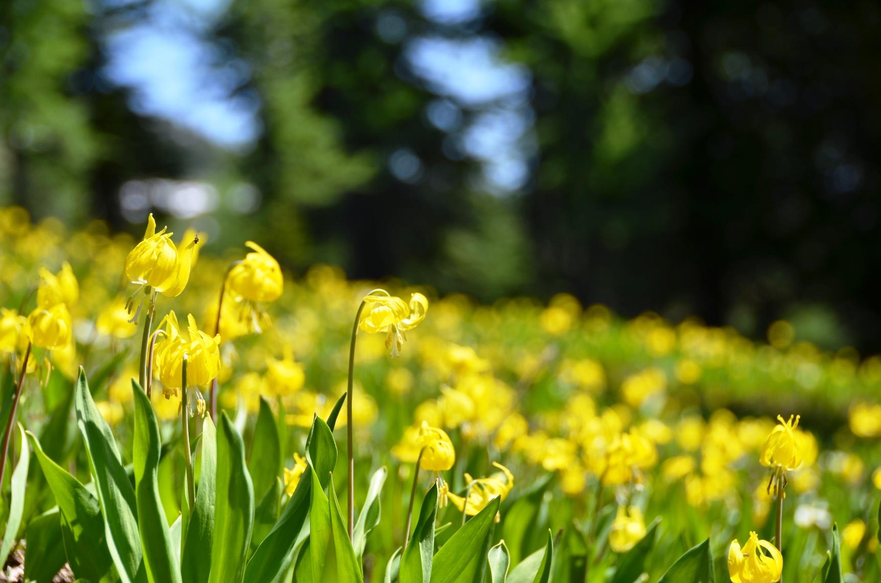 ヒーリークリークでは、初夏に咲くグレーシャーリリー(黄色いカタクリ)