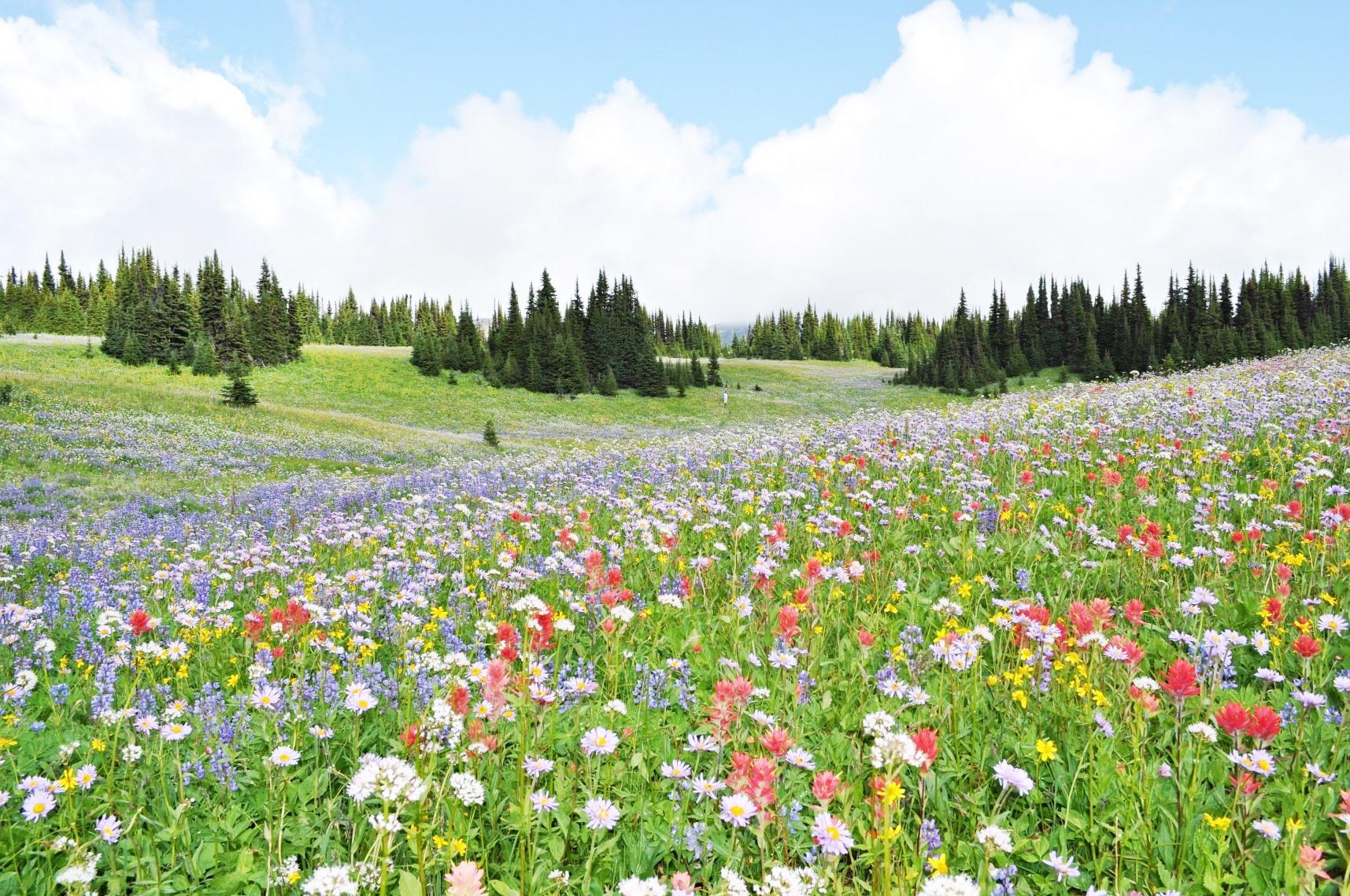 インディアンペイントブラシやフリーベンなど、色とりどりの高山植物が咲き乱れる