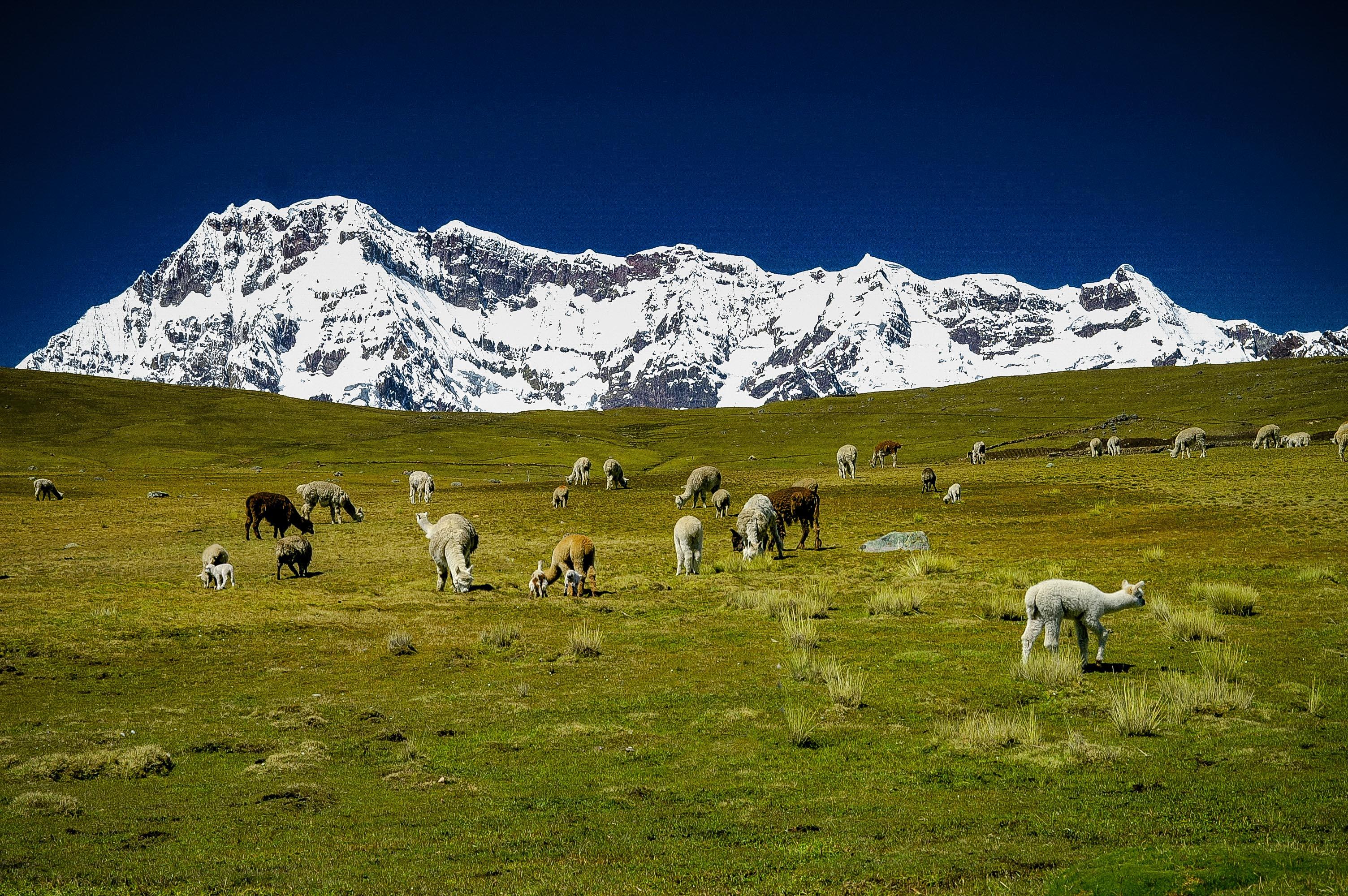 草を食むアルパカの群れと聖なる山アウサンガテ(6,394m)