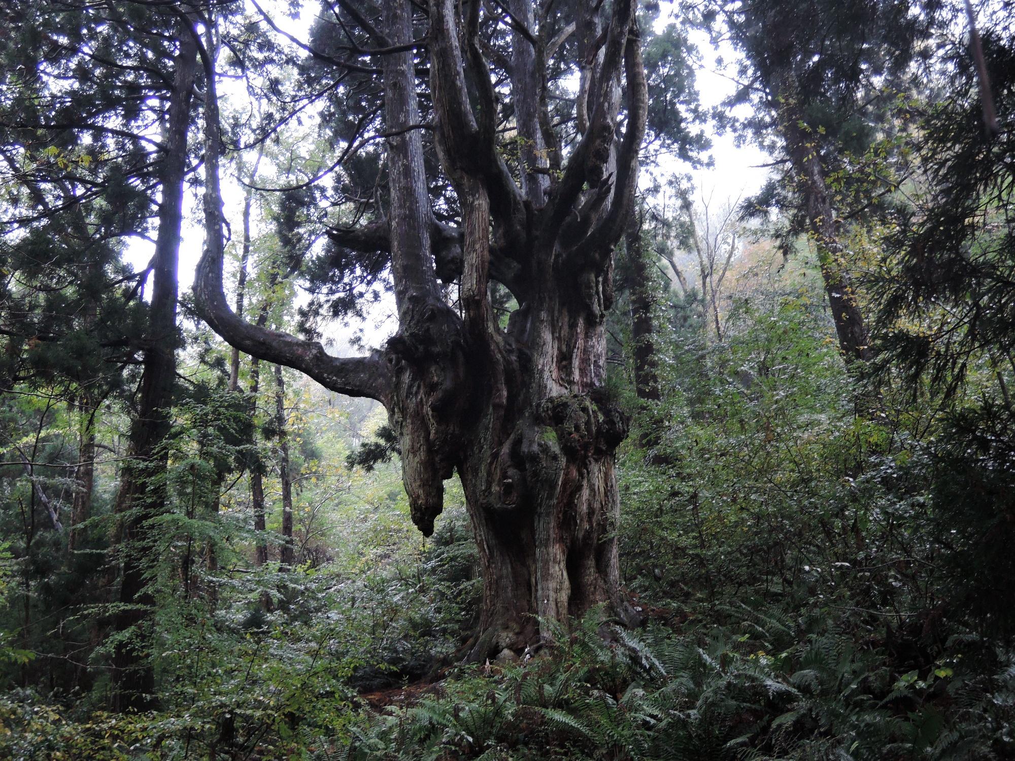 岩倉の乳房杉(3日目)
