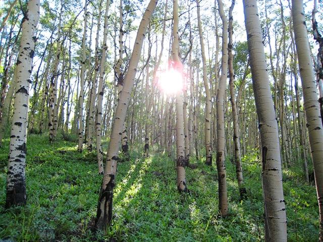 アスペンの森に差し込む朝日